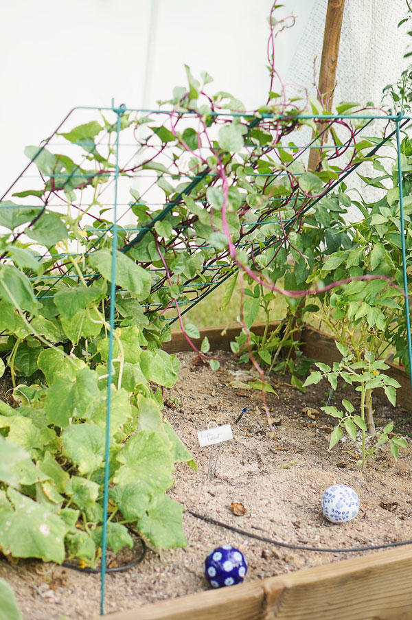 backyard-phoenix-garden-urban-farming-116