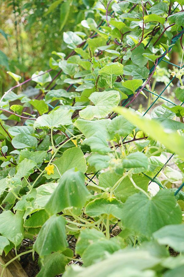 backyard-phoenix-garden-urban-farming-118