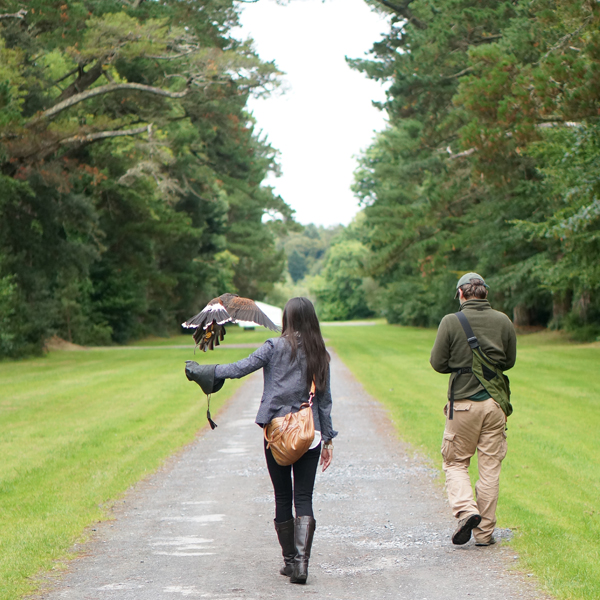 fly-hawk-ashford-castle-walk