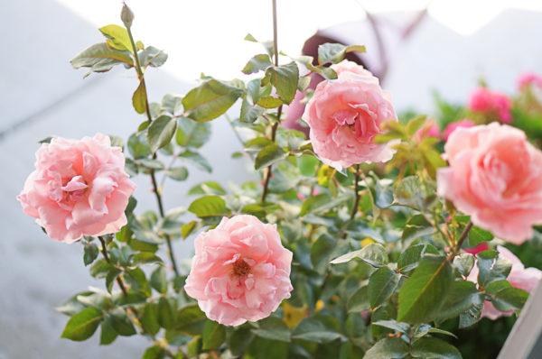 garden-backyard-gardening-flowers-nursery-blogger-117