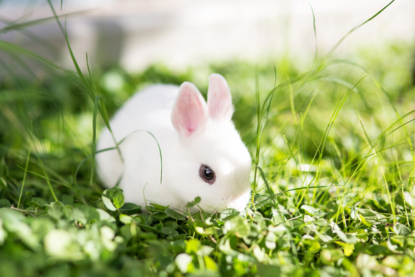 dwarf-hotot-blogger-blog-rabbit-urban-farm-bunnies-ranch-home-002