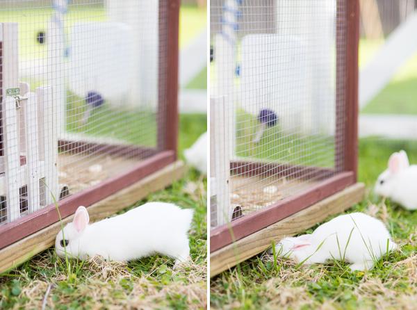 dwarf-hotot-blogger-blog-rabbit-urban-farm-bunnies-ranch-home-003