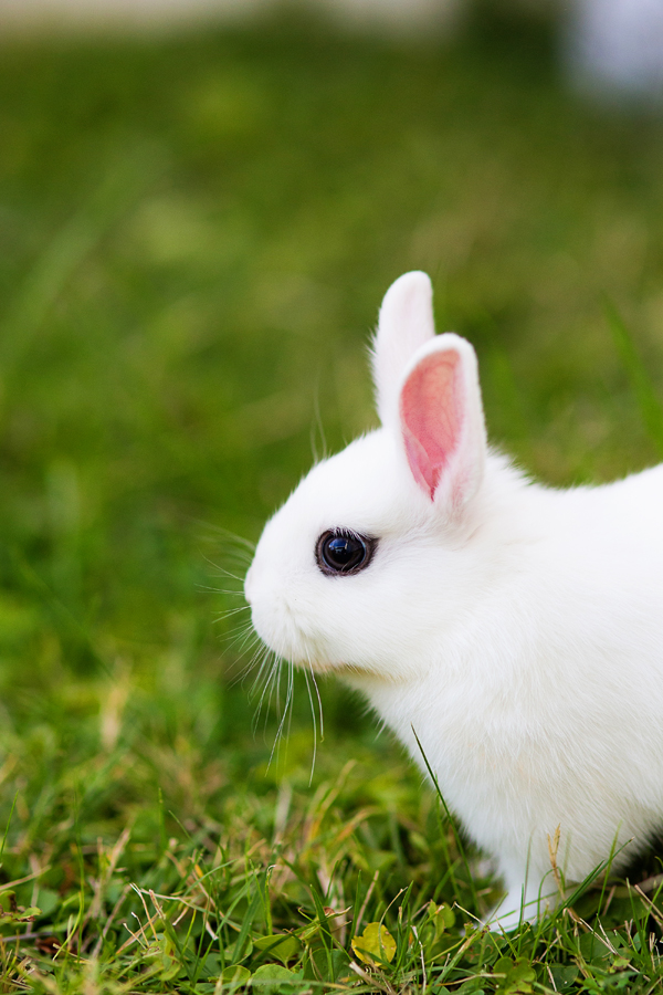 dwarf-hotot-blogger-blog-rabbit-urban-farm-bunnies-ranch-home-006