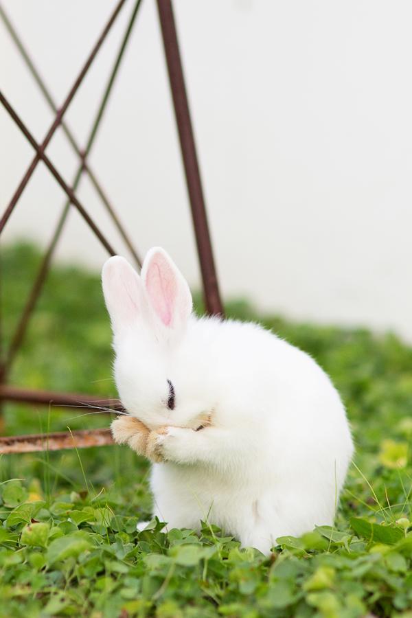 dwarf-hotot-blogger-blog-rabbit-urban-farm-bunnies-ranch-home-007