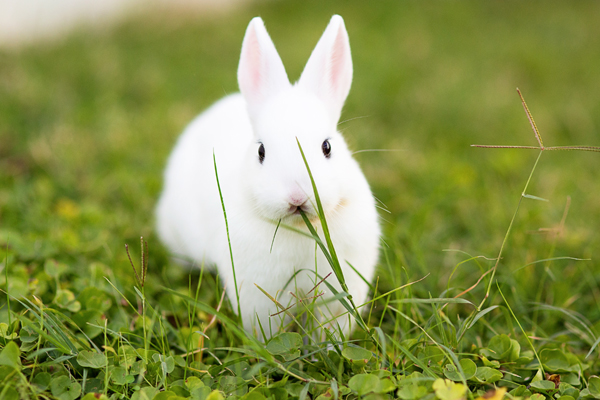 dwarf-hotot-blogger-blog-rabbit-urban-farm-bunnies-ranch-home-010