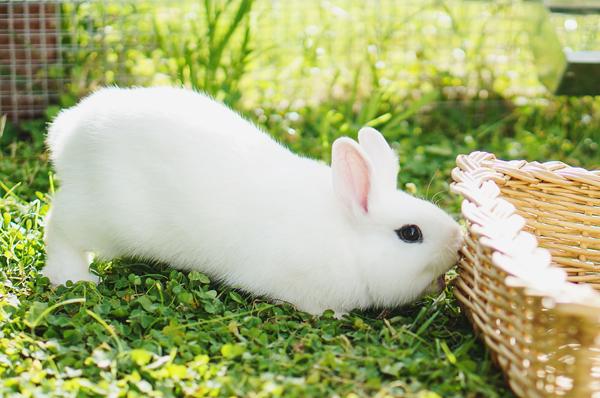 phoenix-dwarf-hotot-blogger-blog-rabbit-urban-farm-bunnies-ranch-home-007