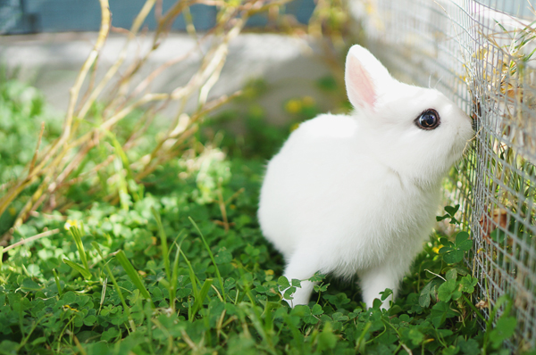 phoenix-dwarf-hotot-blogger-blog-rabbit-urban-farm-bunnies-ranch-home-009