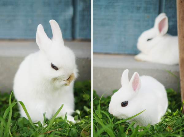 phoenix-dwarf-hotot-blogger-blog-rabbit-urban-farm-bunnies-ranch-home-012