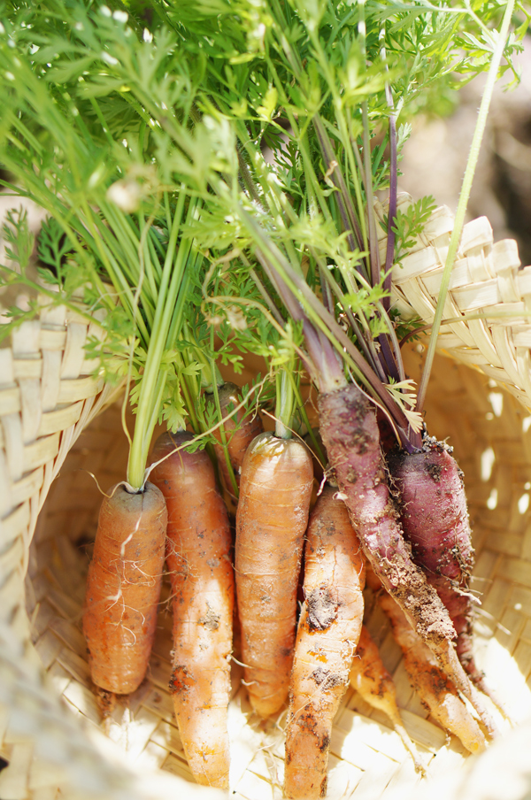 phoenix-backyard-urban-garden-farming-carrots-purple-2