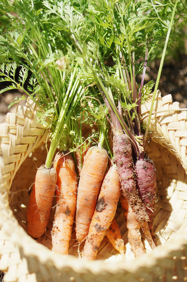 phoenix-backyard-urban-garden-farming-carrots-purple-3