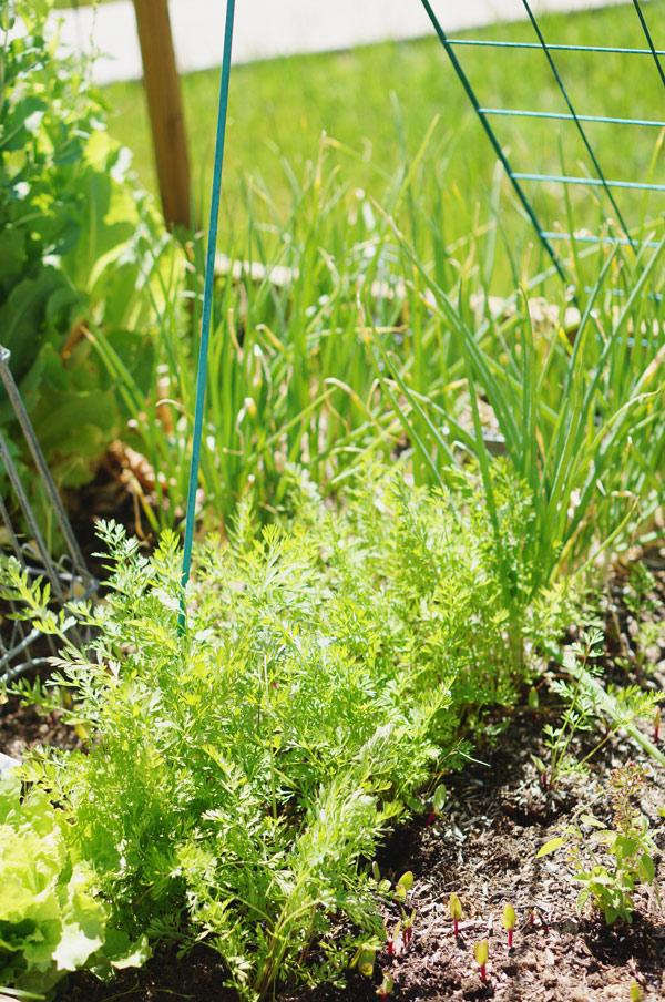 phoenix-backyard-urban-garden-farming-carrots-purple-lettuce