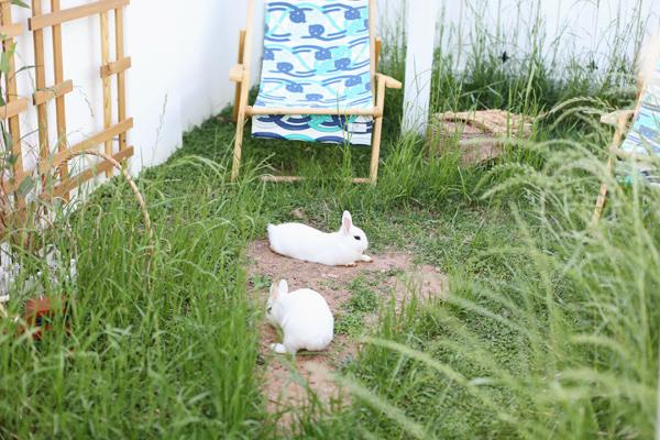 dwarf-hotot-phoenix-rabbit-0