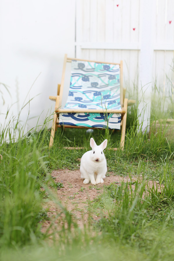 dwarf-hotot-phoenix-rabbit-12
