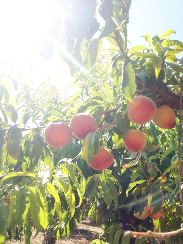 phoenix-magazine-behind-scenes-schnepf-farms-peach-picking-1-5