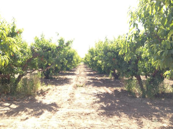 phoenix-magazine-behind-scenes-schnepf-farms-peach-picking-6