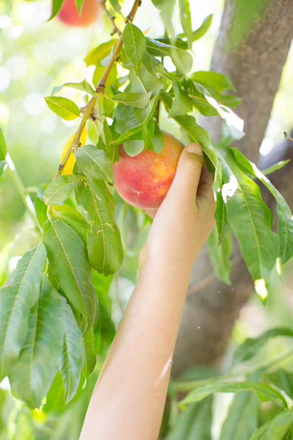 schnepf-farms-peach-orchard-fruit-shoot-picking-diana-elizabeth-photography-013