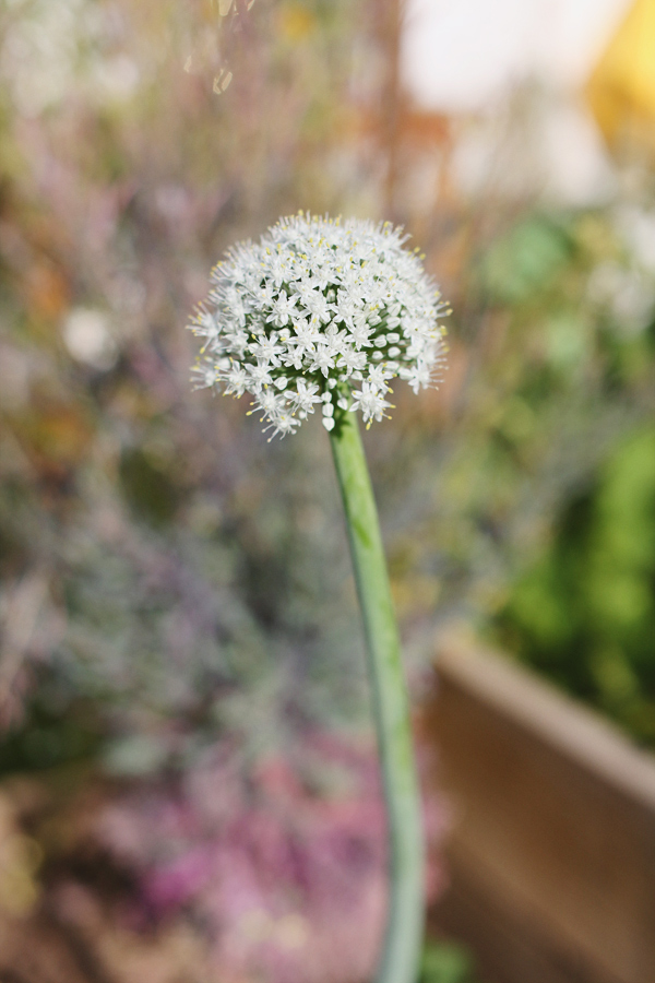 spring-onion-bloom-2