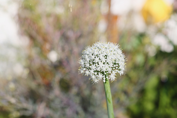 spring-onion-bloom-3