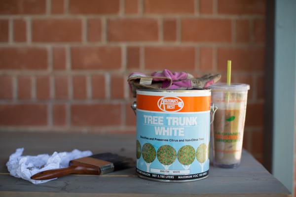 backyard-paint-citrus-tree-trunk-white-111