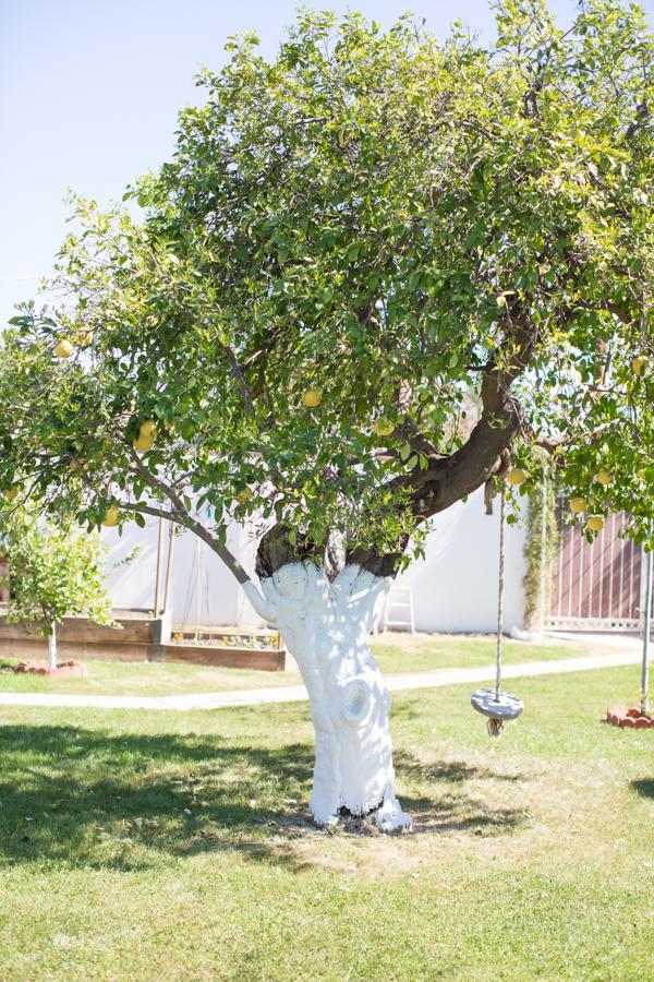 backyard-paint-citrus-tree-trunk-white-112