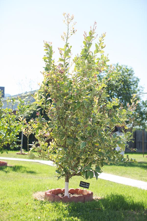 backyard-paint-citrus-tree-trunk-white-115