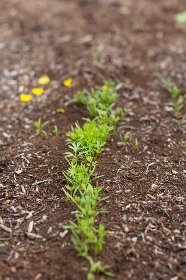 black-gold-soil-gardening-uses-urban-farming-116