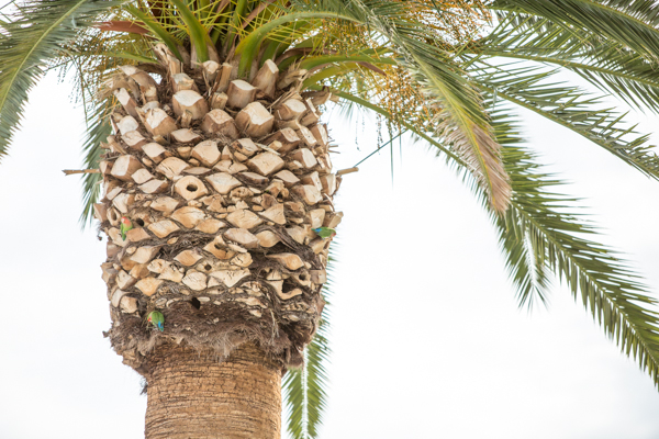 love-birds-wild-palm-tree-urban-farming-phoenix-neighborhood-birds