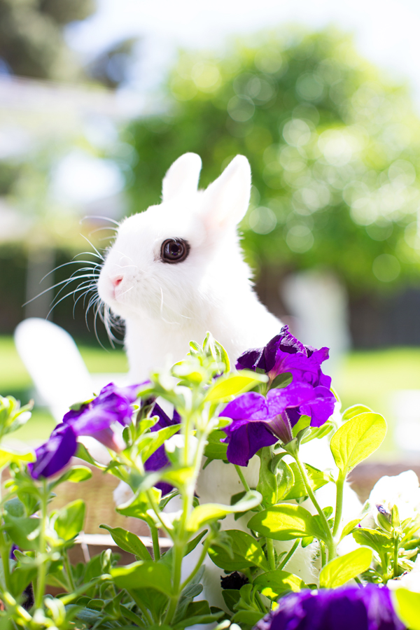 diana-elizabeth-photography-hotot-rabbit-bunny-easter-bunny-photo114