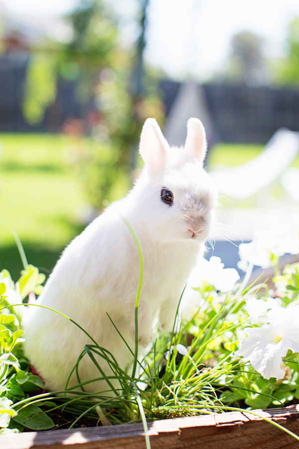 diana-elizabeth-photography-hotot-rabbit-bunny-easter-bunny-photo118