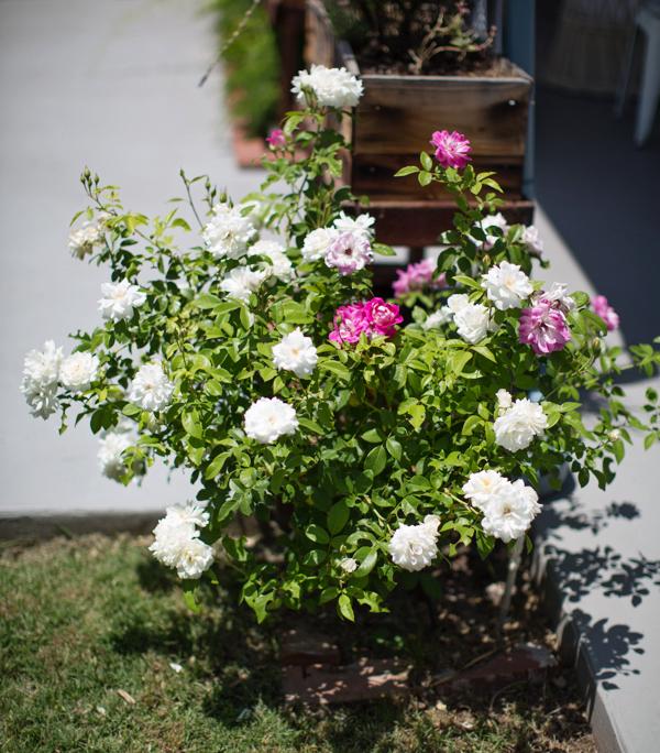 backyard-update-phoenix-garden-blogger-111