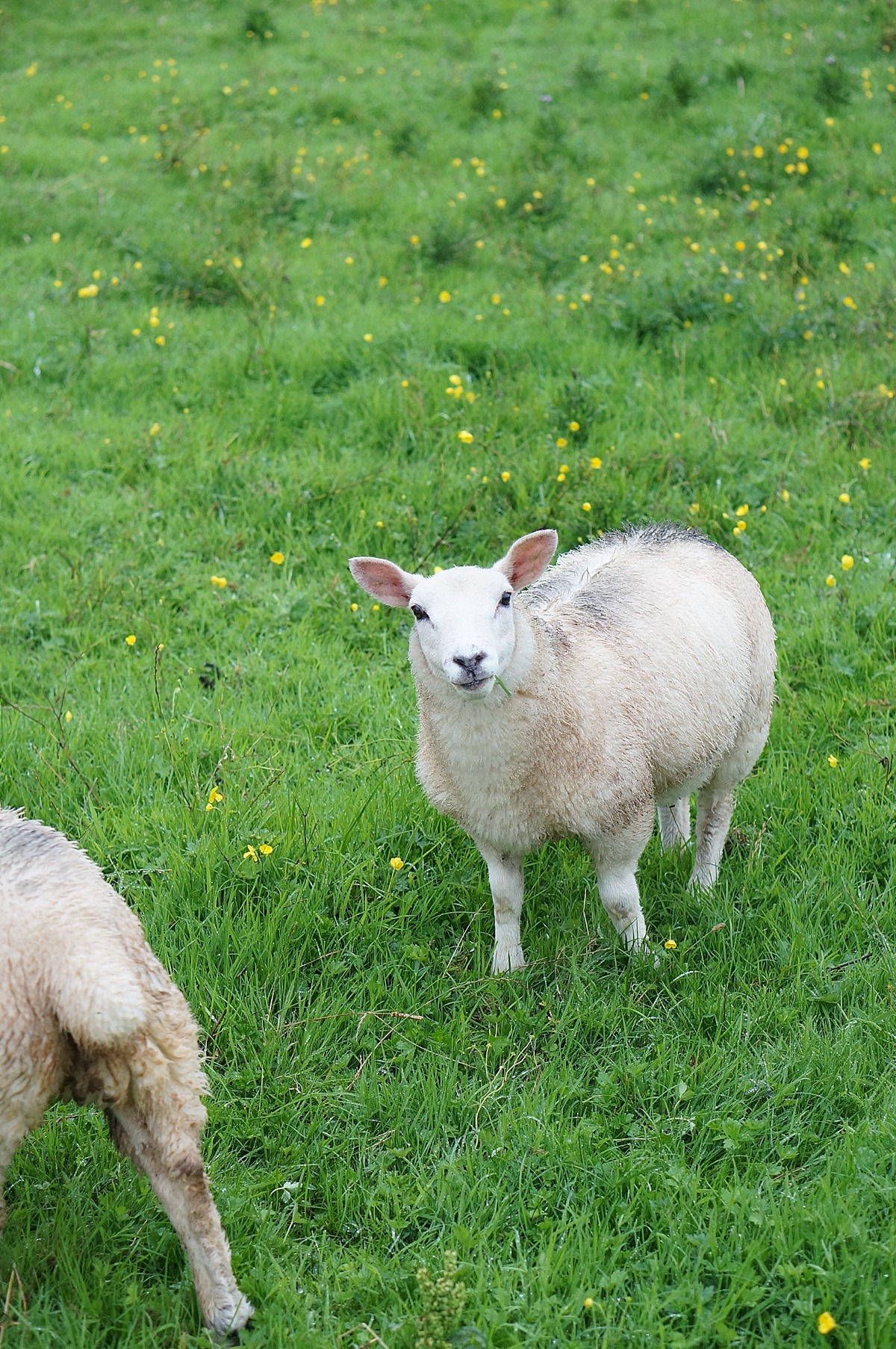 Northern Ireland sheep