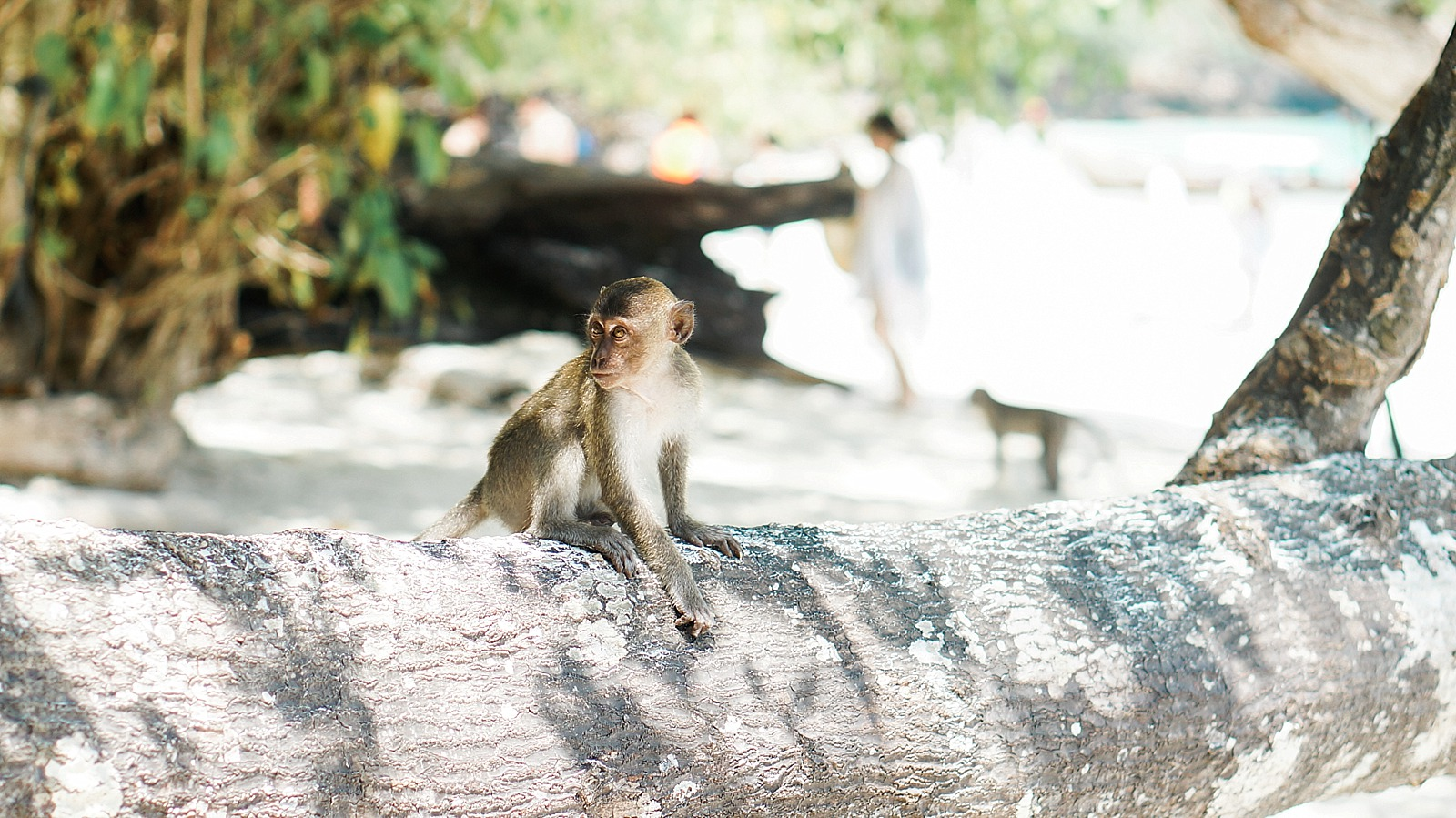 monkey on monkey beach in Thailand