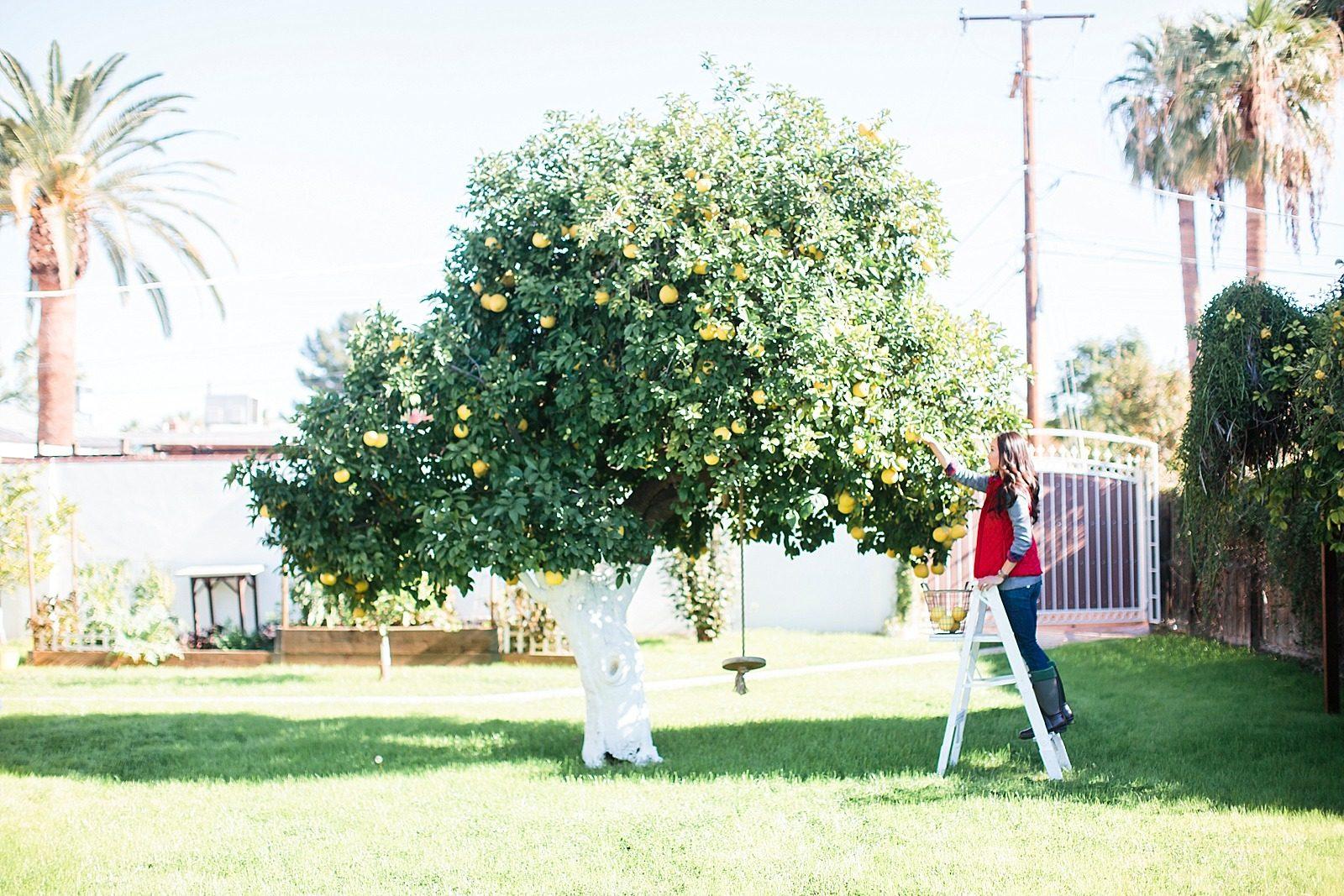 grapefruit tree picking girl on ladder