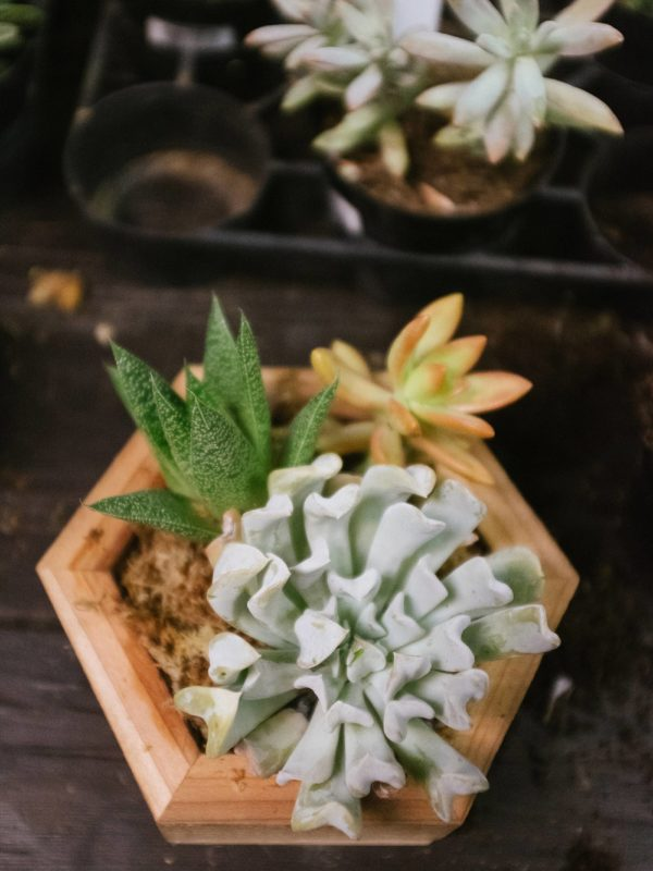 photos of a succulent in a octagon shaped wood box