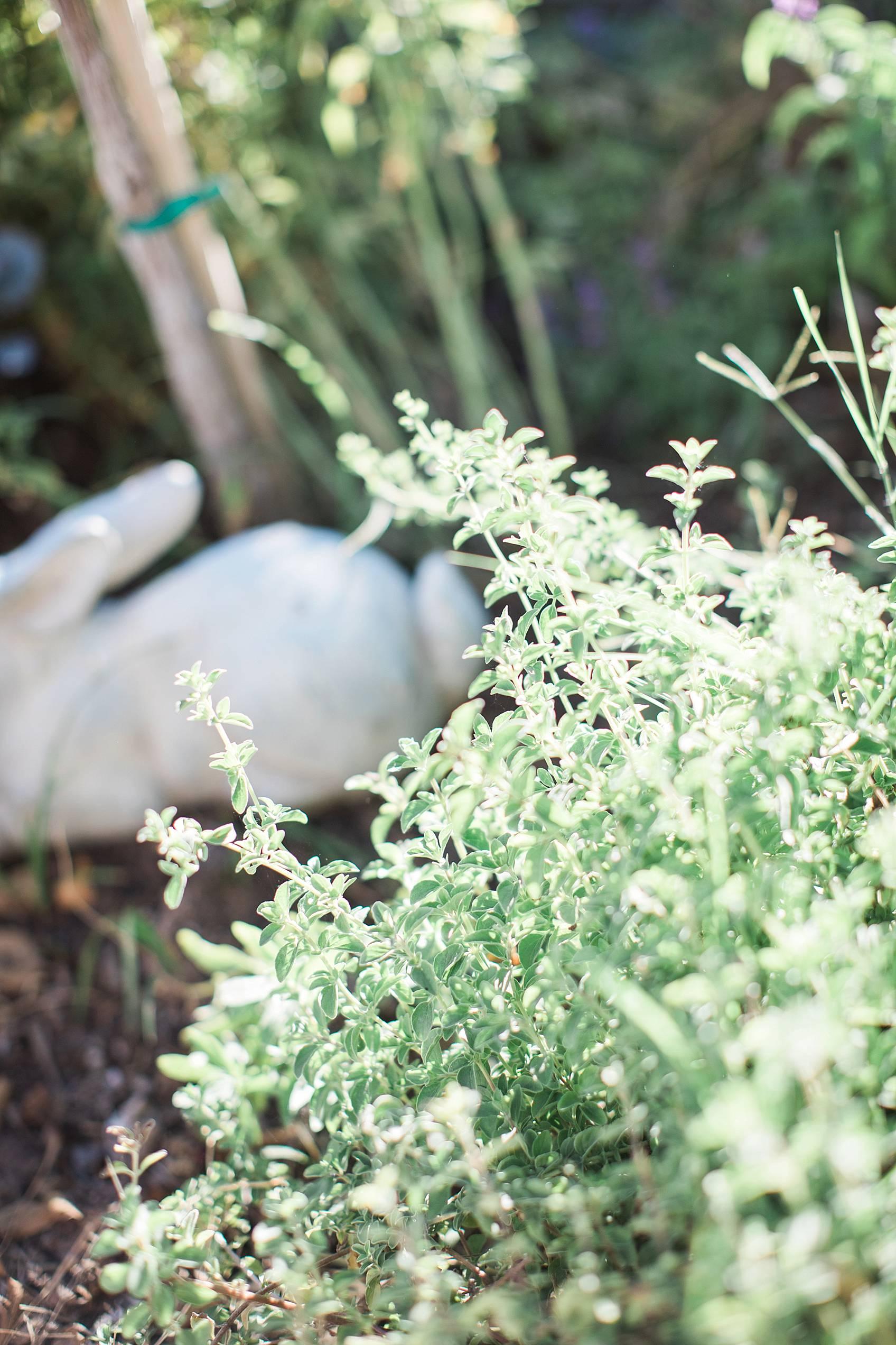 phoenix home garden blogger diana Elizabeth's garden Oregano growing in garden bed