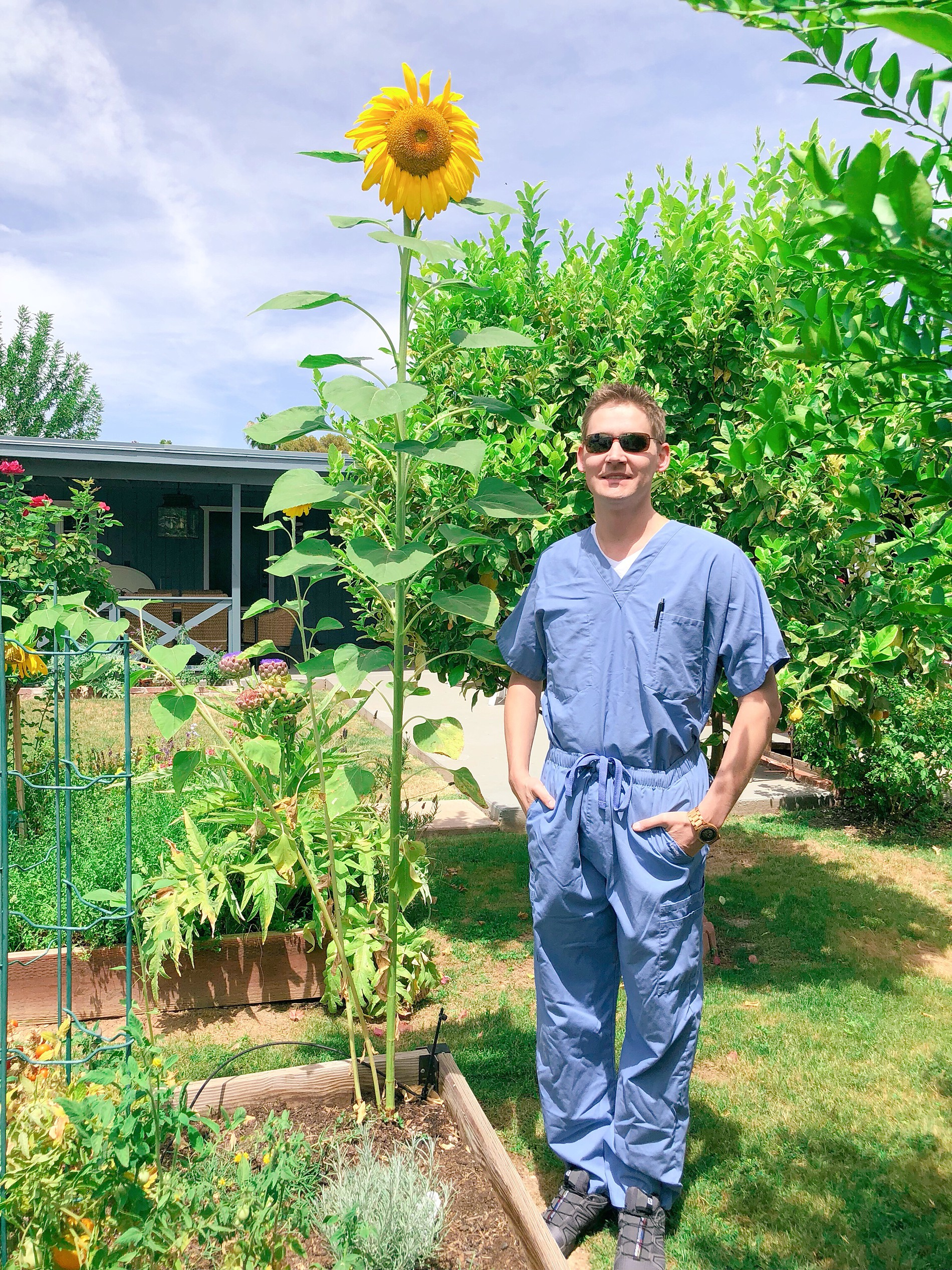 tallest sunflower planted!