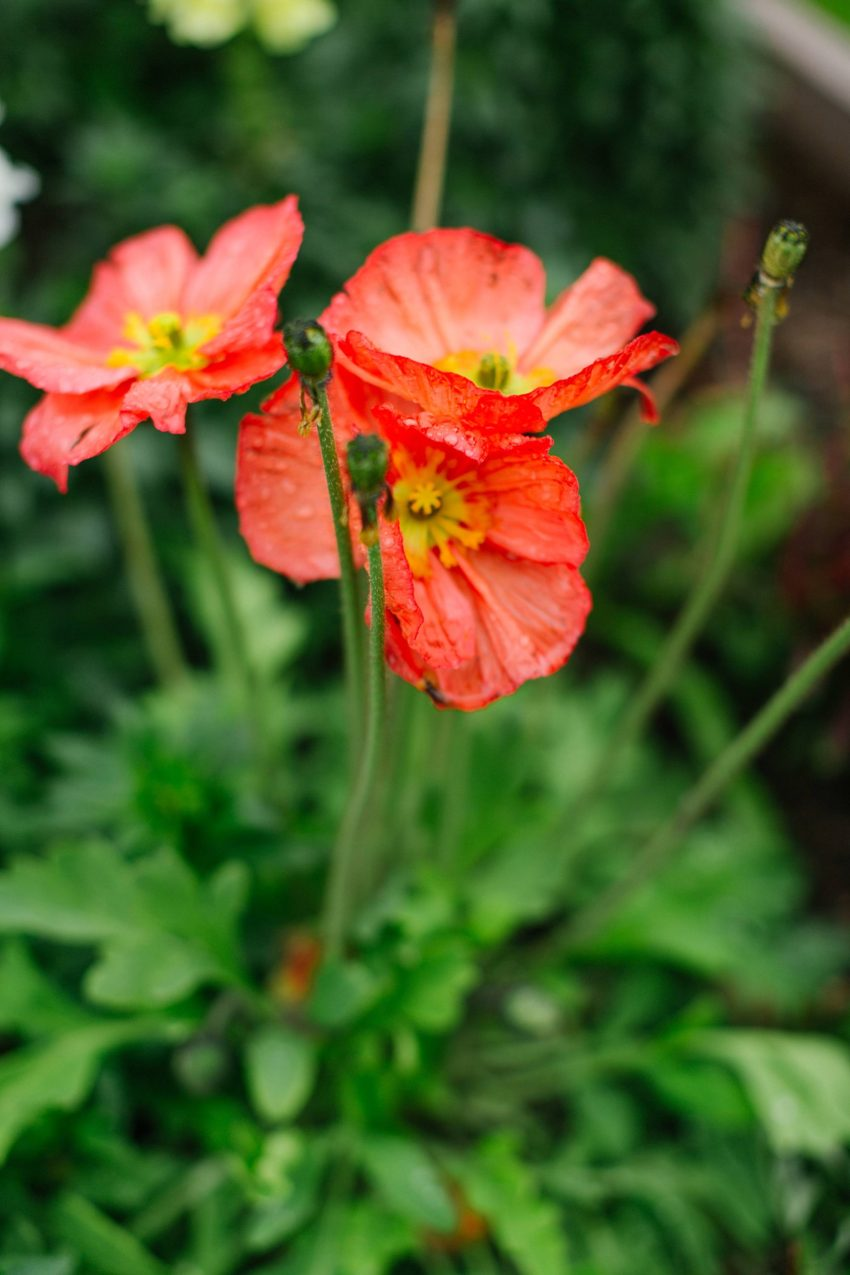 red poppy in the raised garden beds after the rain #garden #gardenbeds