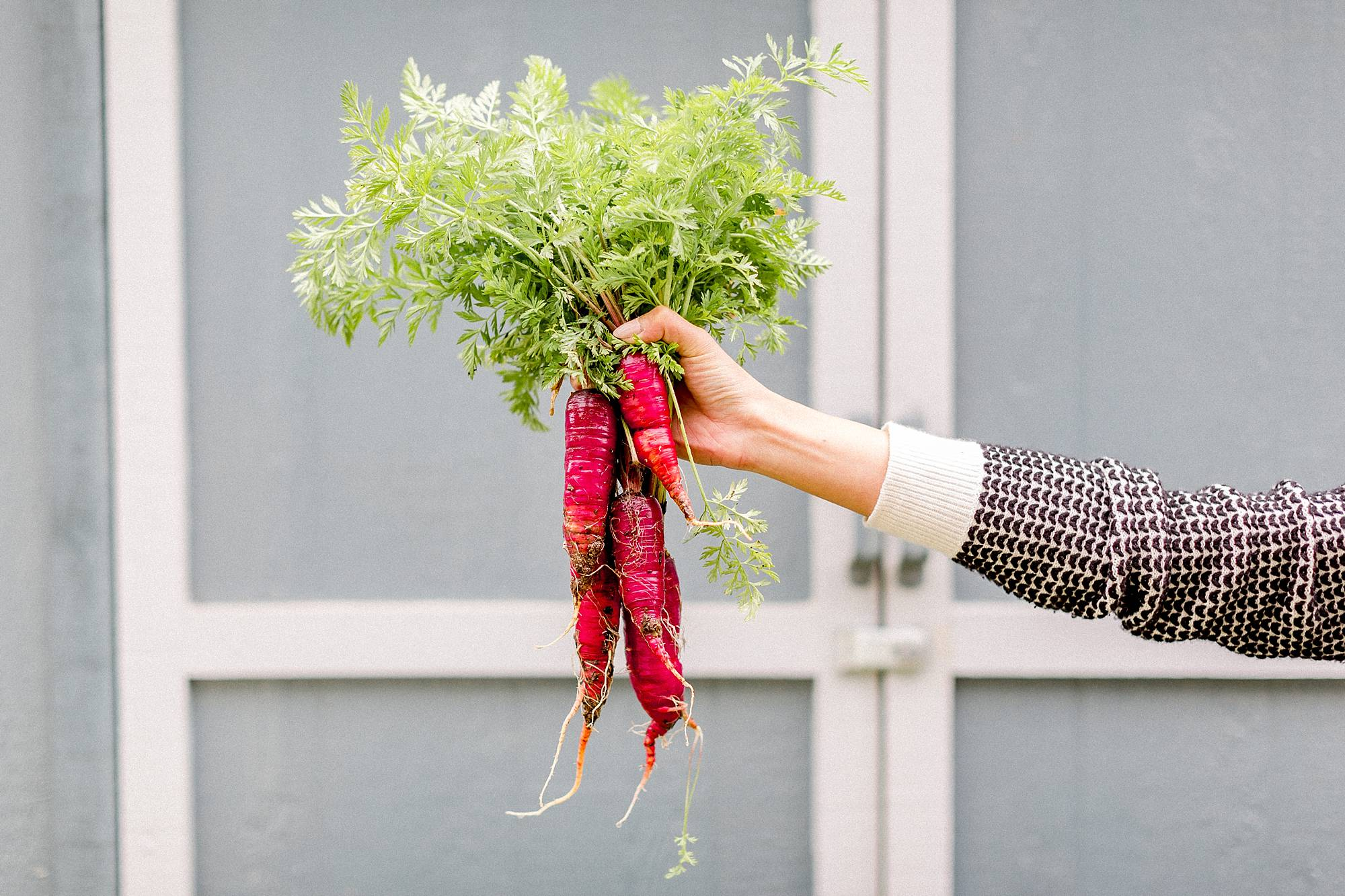 holding purple carrots winter harvest from garden #garden #gardenbeds