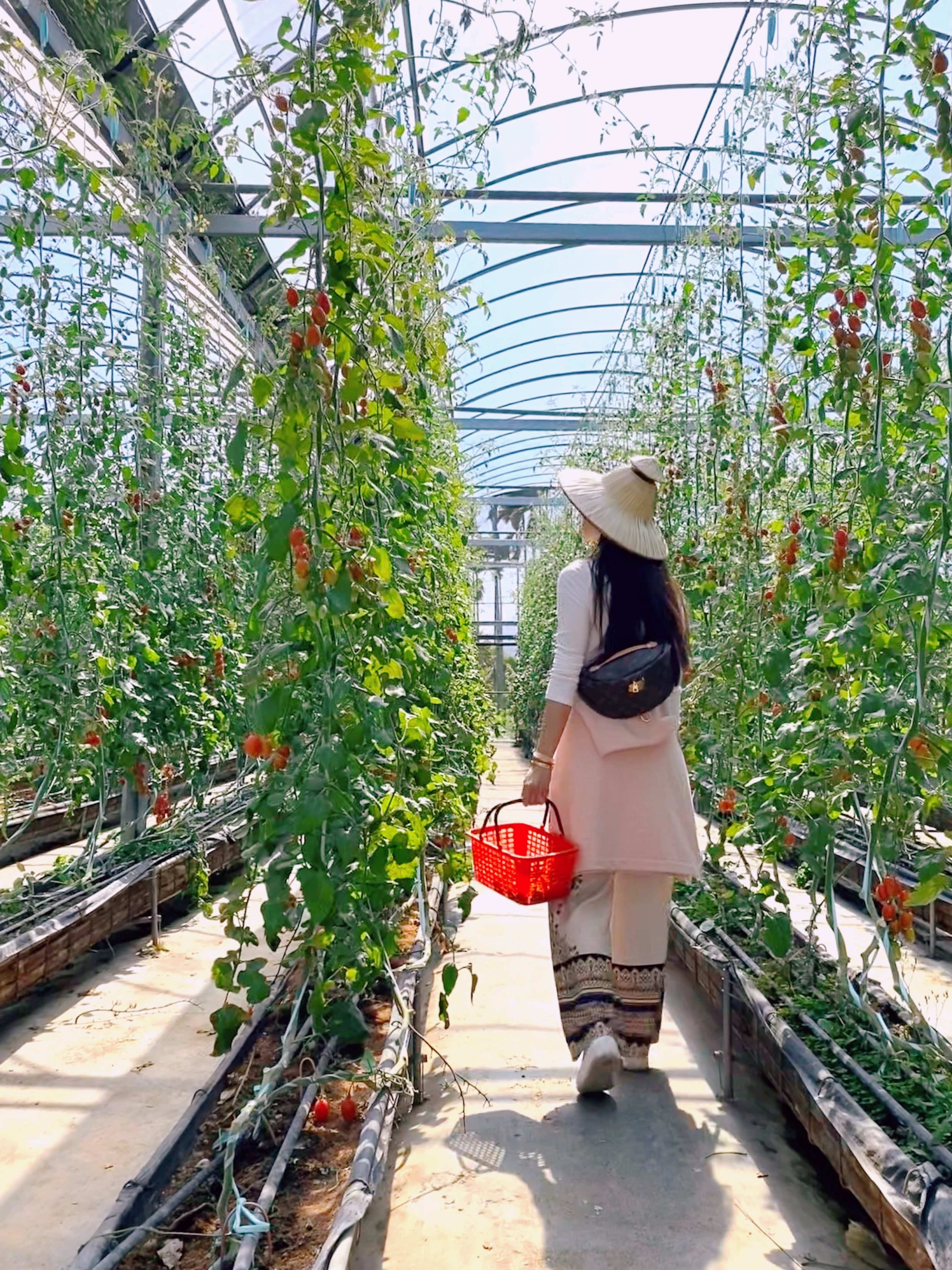 Tomato vines in Dahu township in Taiwan