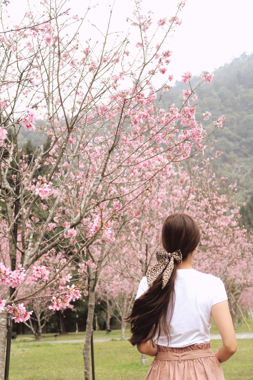Sakura blooms in Taiwan indigenous people theme park