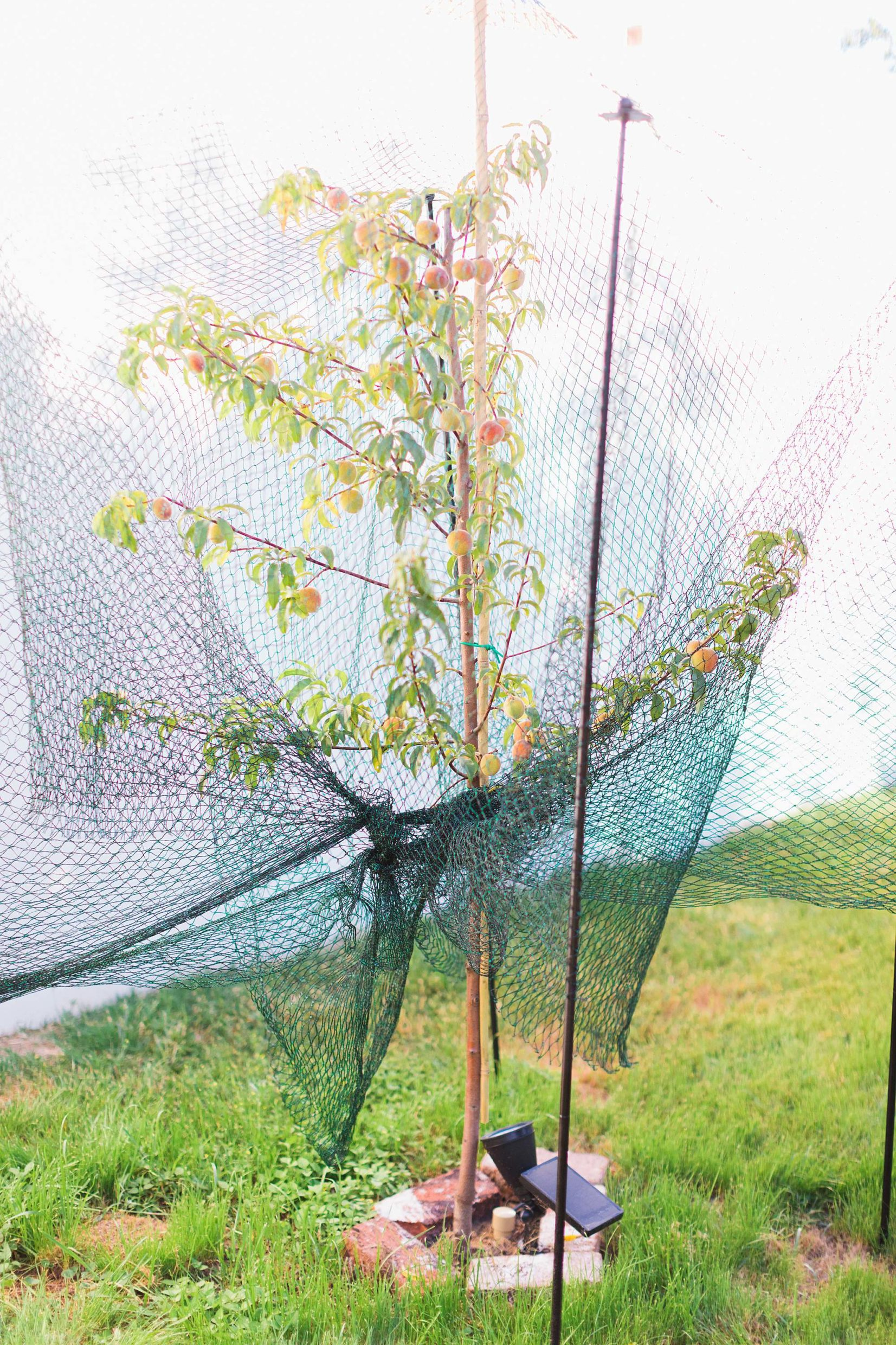 take care of peaches before ripening with bird netting