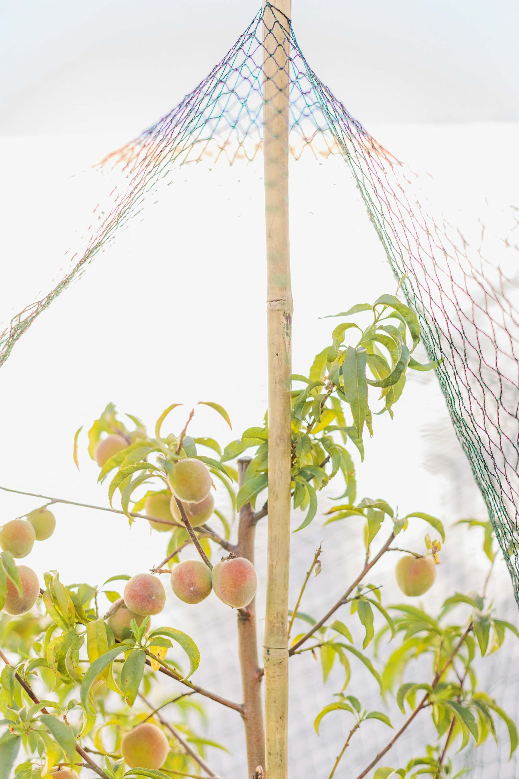taking care of peaches before they ripen with bird netting and bamboo stakes