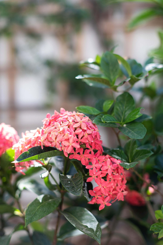 ixora plant similar to hydrangeas can grow in Phoenix
