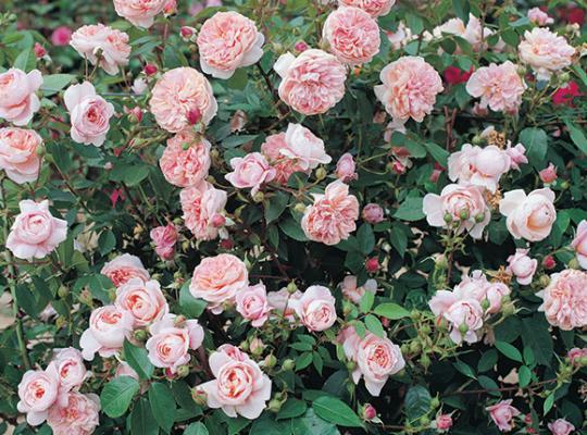 colette pink star roses