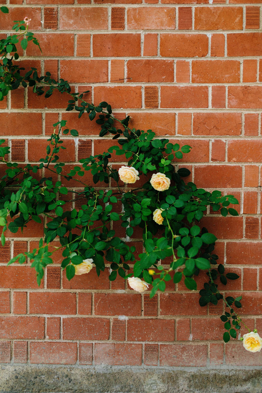 David Austin roses teasing Georgia on Brick wall